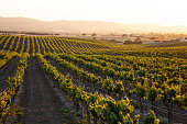vineyard rows in the countryside with rolling hills and warm glow of setting sun