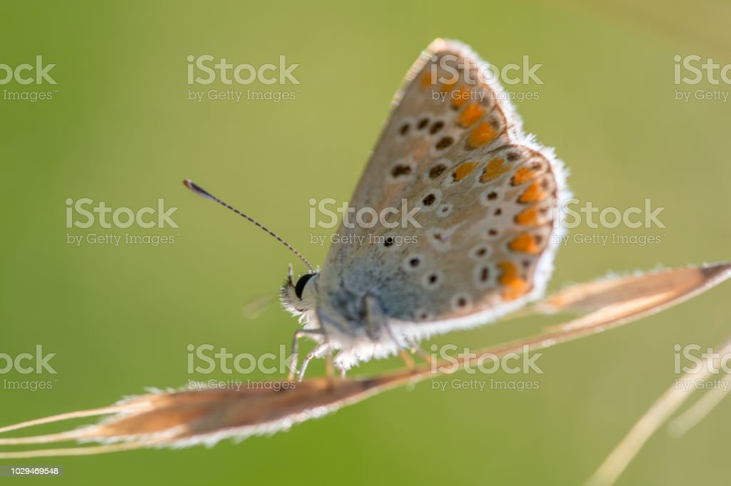 seul papillon azuré bleu posé sur un brin d'herbe en été en vue horizontale sur fonds vert - Photo