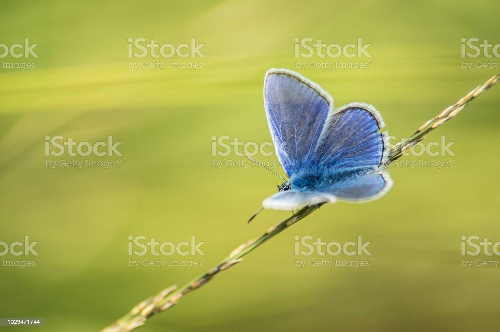 seul papillon azuré bleu posé sur un brin d'herbe en été en vue horizontale sur fonds vert le soir - Photo