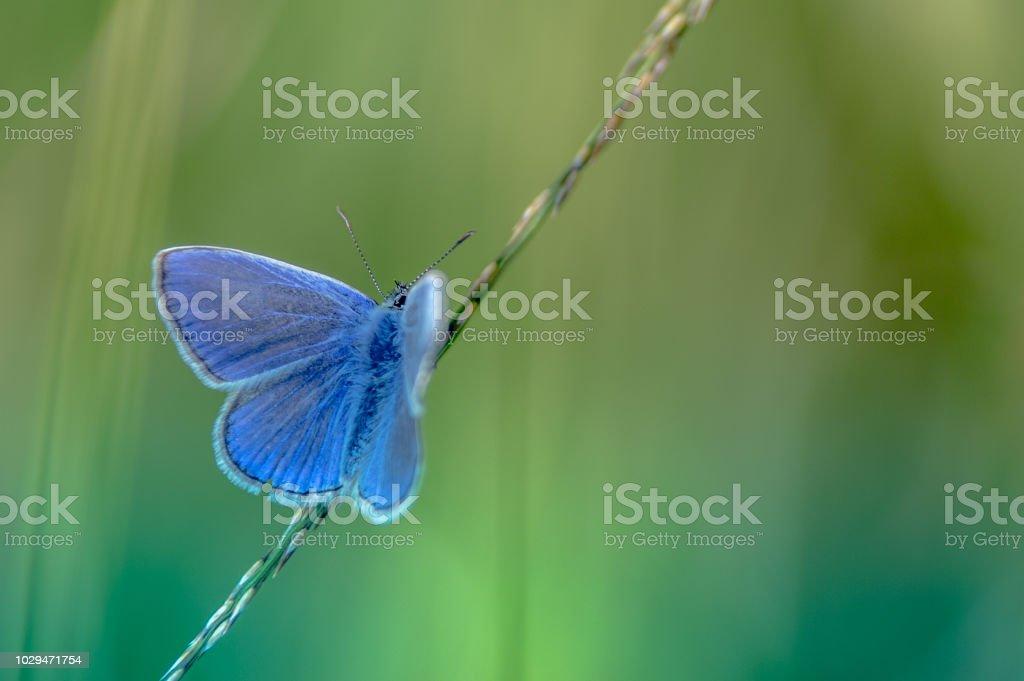 seul papillon azuré bleu posé sur un brin d'herbe en été en vue horizontale sur fonds vert le soir en forêt - Photo