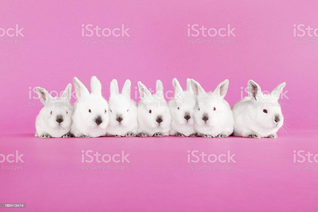 Seven Baby Bunnies stock photo