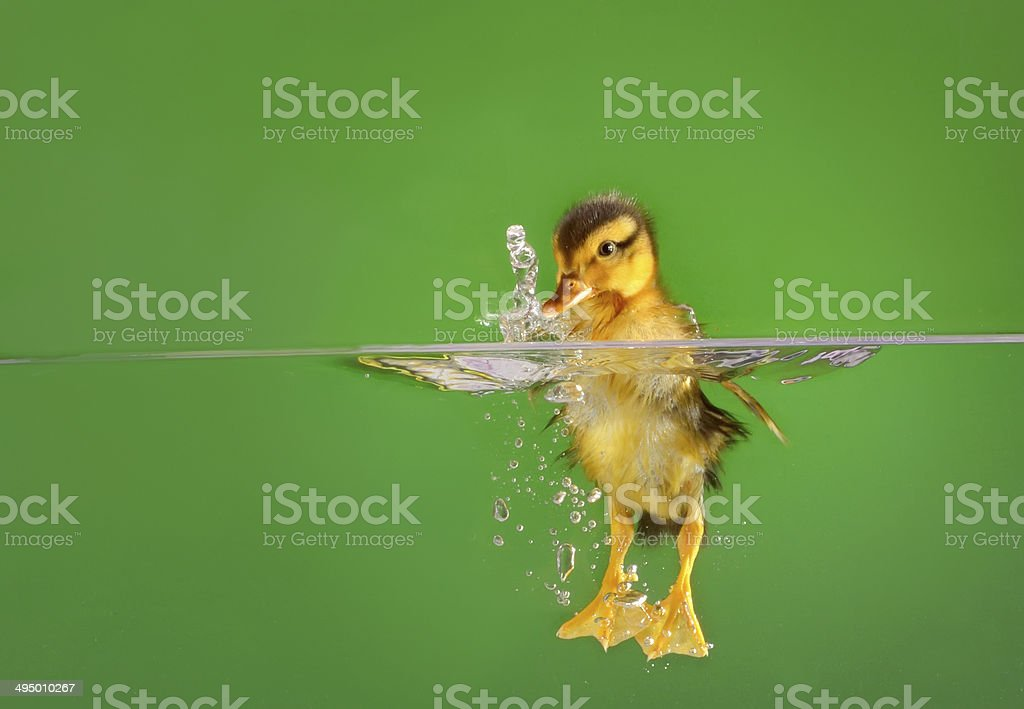 seven days old duckling swimming stock photo