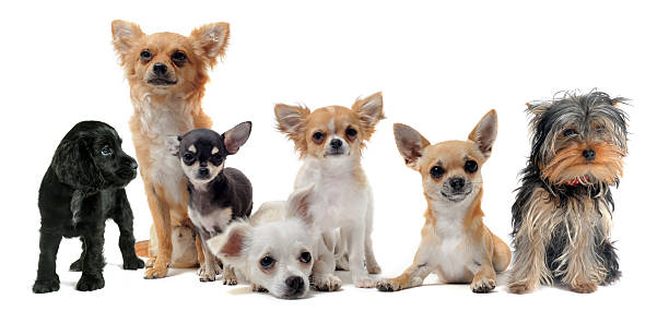 Seven different small dogs on white background stock photo