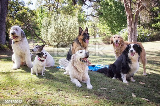 Seven dogs of various breeds in a garden in Australia