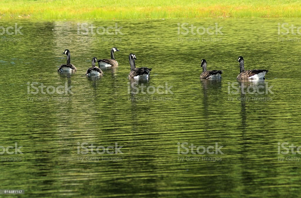 Seven Floating Geese stock photo