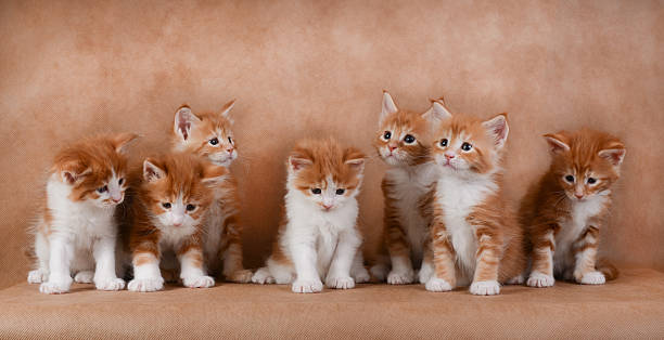 Seven ginger kittens sitting on a beige background picture id534001326?b=1&k=6&m=534001326&s=612x612&w=0&h=dycgcn l0qg2awguvr2xtifmmliazaetxwagmhrfjae=