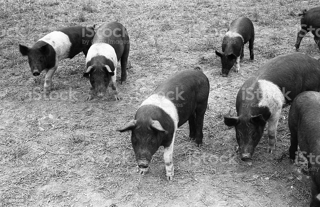 Seven Hampshire pigs foraging empty fields circa 1964 royalty-free stock photo