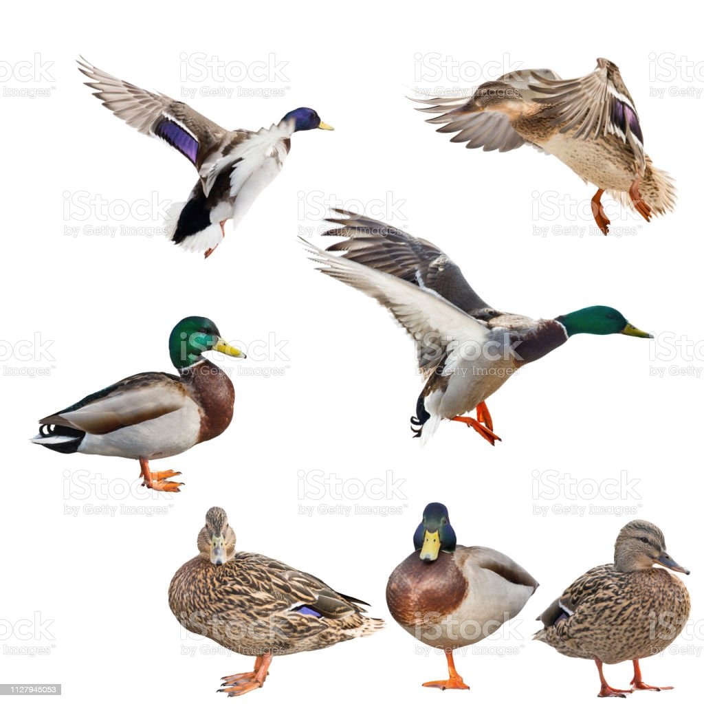 best authentic a34e4 7b33a Seven Mallard Ducks Isolated On White Stock Photo - Download ...
