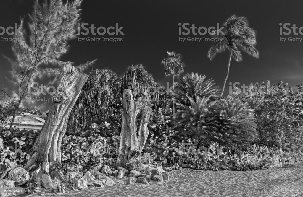 Seven Mile Beach Trees (B&W) royalty-free stock photo