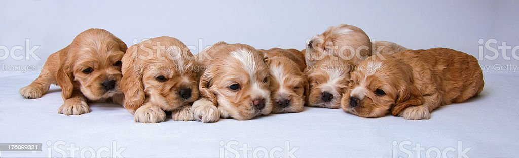 Seven puppies stock photo