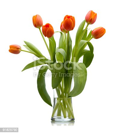 Seven red orange freshly cut tulips in a clear glass vase filled with water isolated over white with reflection that quickly fades to white.