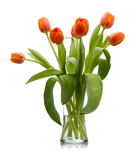Seven Red Orange Fresh Cut Tulips In Glass Vase Isolated stock photo