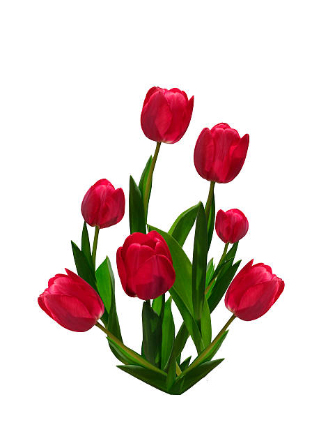 Seven red tulips isolated on white background.​​​ foto