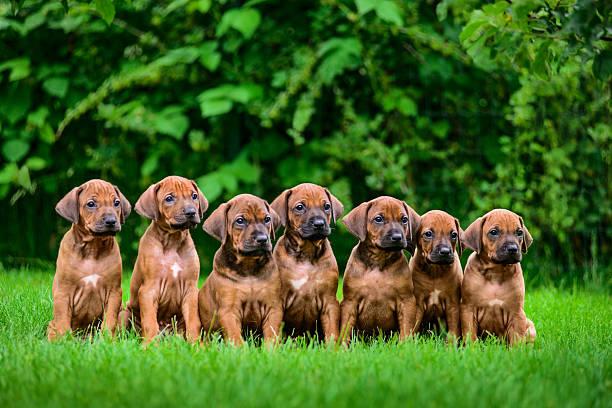 seven rhodesian ridgeback puppies sitting in row on grass - allevatore foto e immagini stock