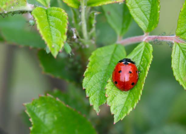 Seven spot ladybug, Coccinella septempunctata on rose plant with aphids stock photo