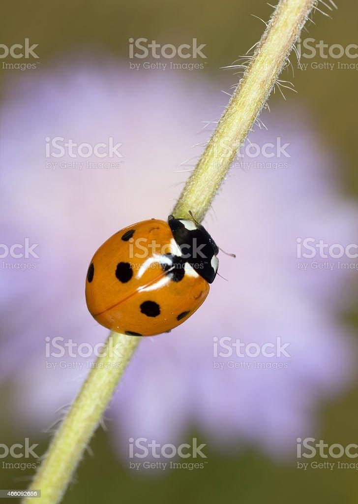 Seven spot Ladybug, coccinella septempunctata stock photo