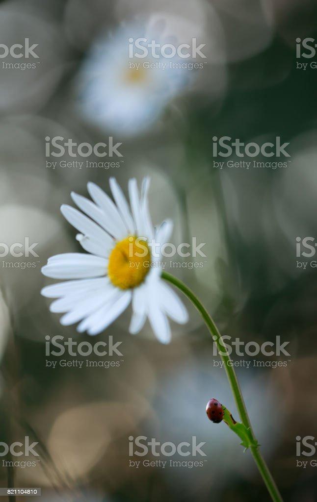 Seven spot ladybug, Coccinella septempunctata resting on oxeeye daisy stock photo