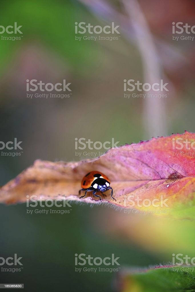 Seven Spot Red Ladybird on a Leaf stock photo
