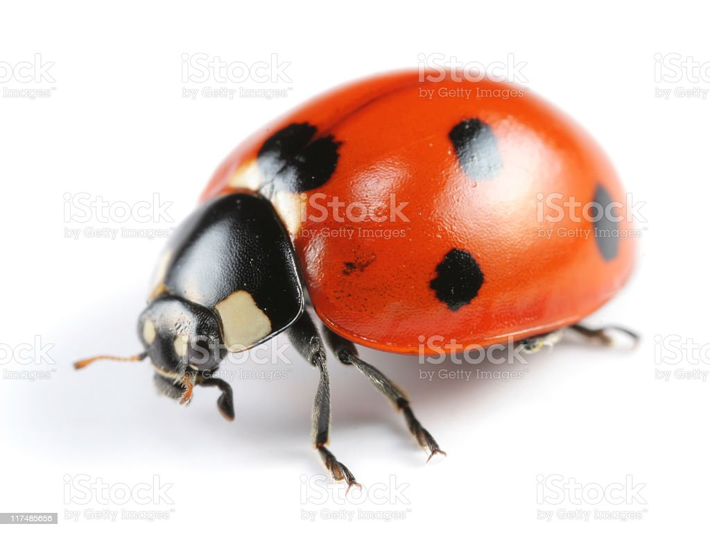 A seven spotted Ladybug on a white background stock photo