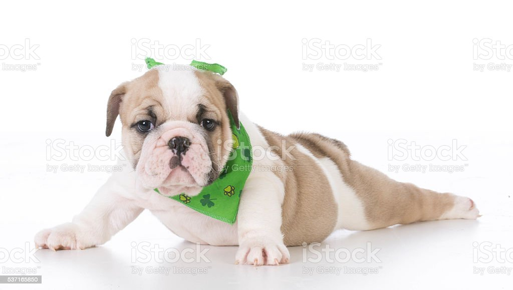 seven week old puppy stock photo