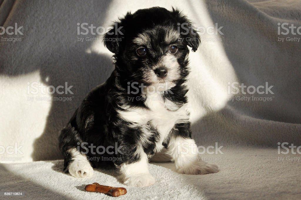 Seven Weeks Old Black And White Havanese Puppy With Biscuit Foto De Stock Y Mas Banco De Imagenes De Animal Istock