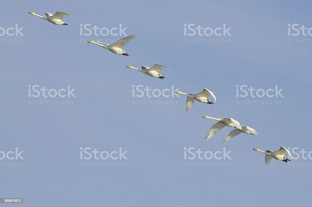Seven whooper swans fly in formation royalty-free stock photo