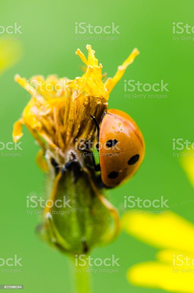 Seven-spot ladybird climbing the flower stock photo