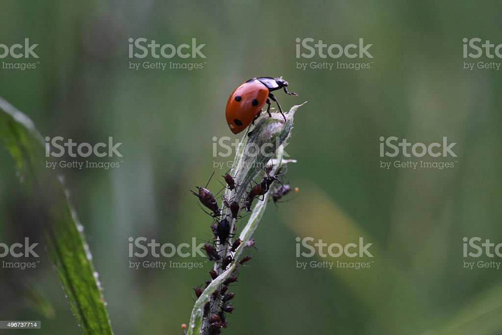 Seven-spot ladybird in hunting aphids stock photo