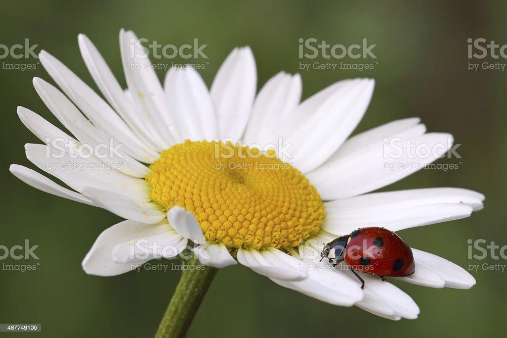 Seven-spot ladybird on daisy flower stock photo