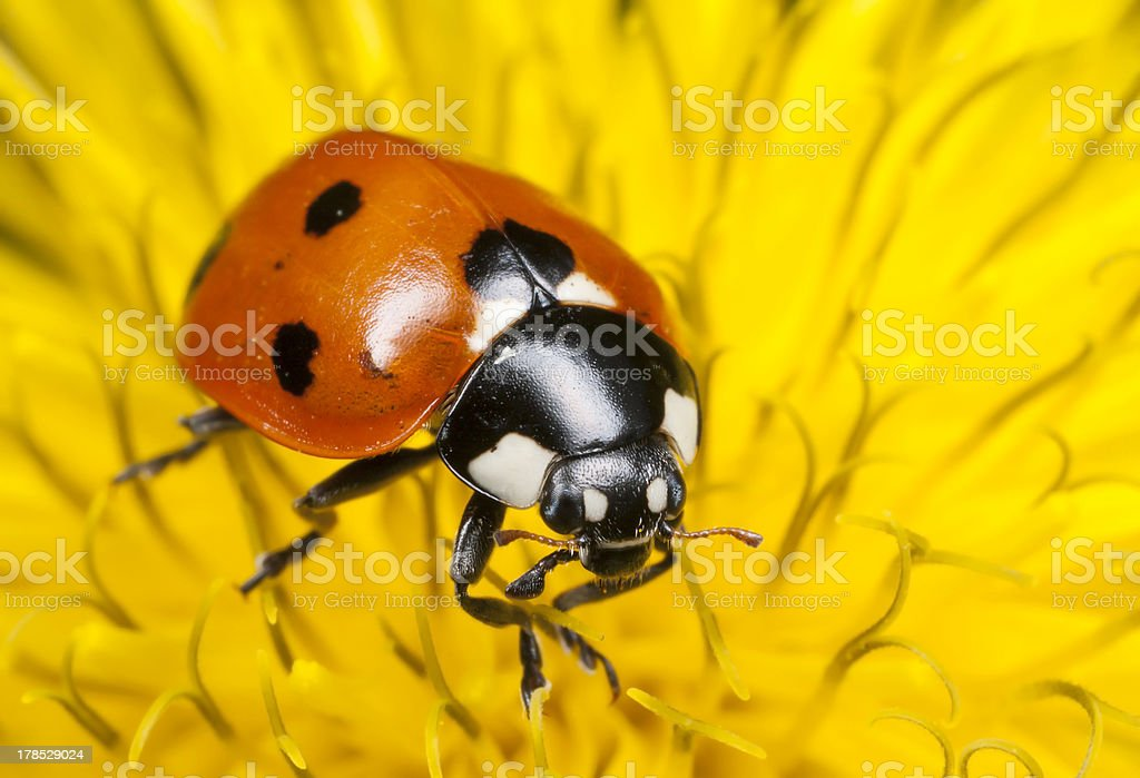 Seven-spot Ladybird on dandelion blossom royalty-free stock photo
