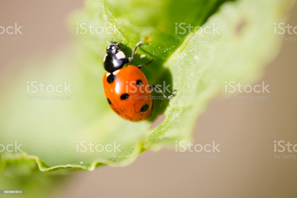 Seven-spot ladybird (Coccinella septempunctata) on grass leaf extreme macro. stock photo