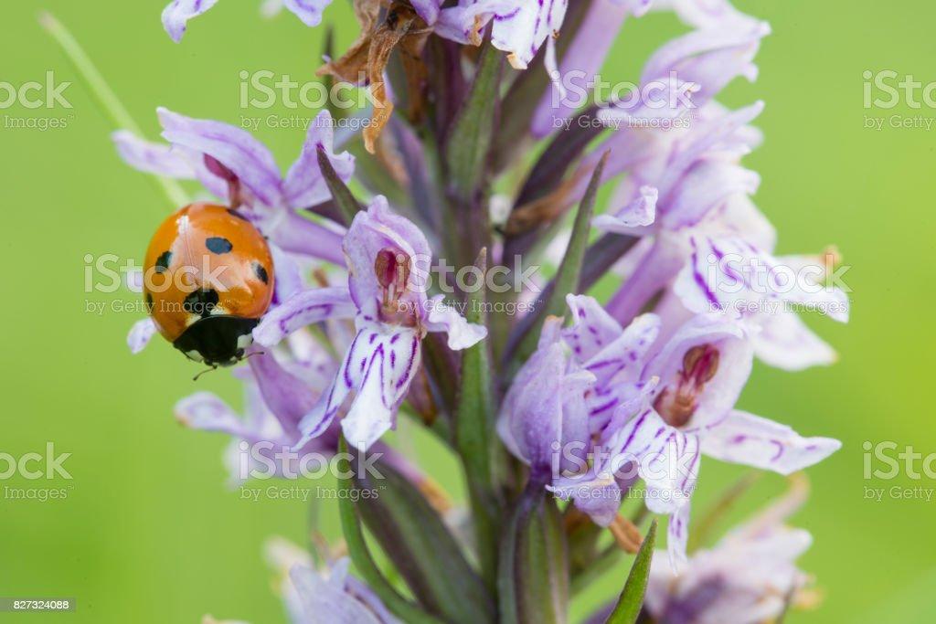 Seven-spot ladybird on wild purple common European orchid stock photo