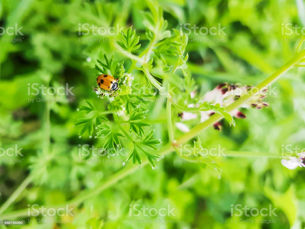 Seven-spot ladybird or ladybug stock photo