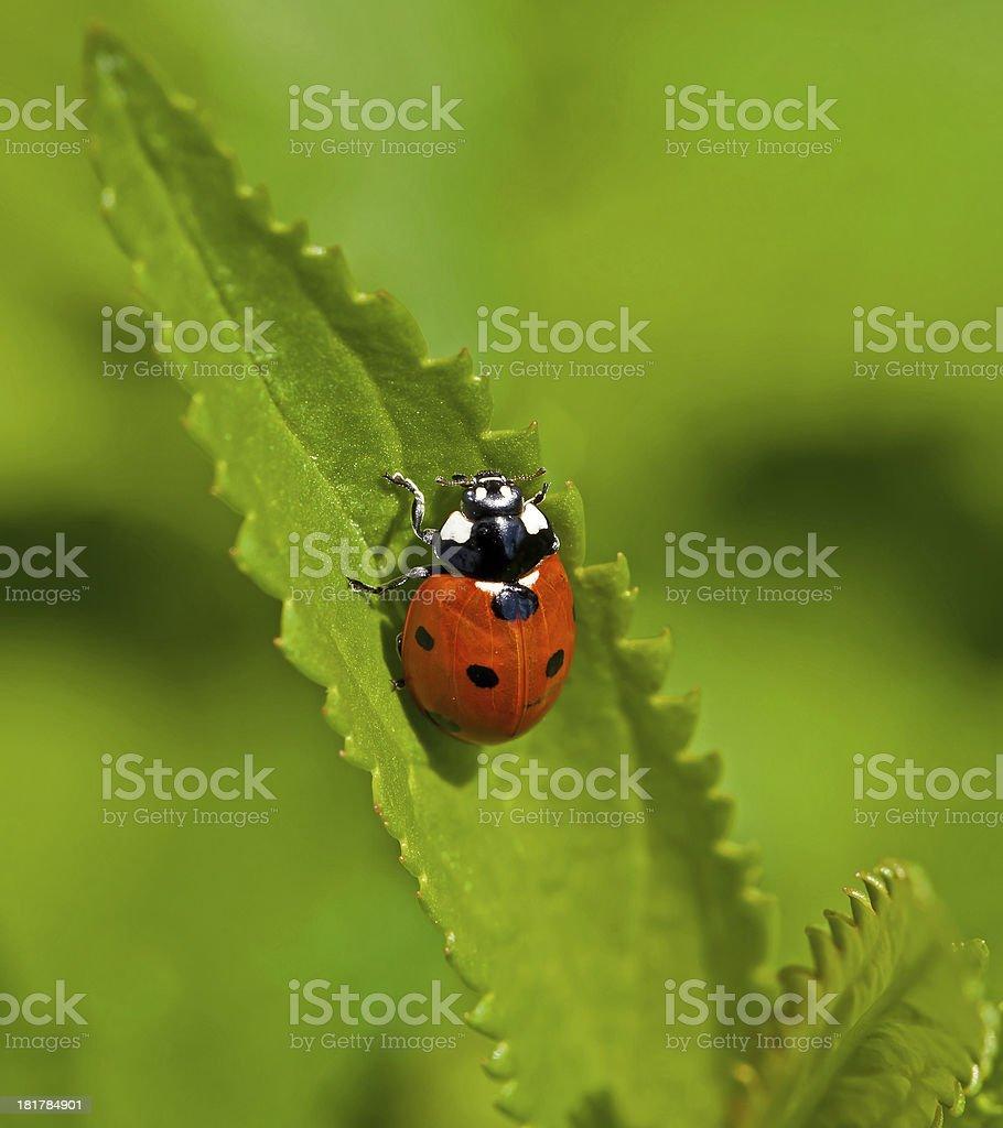 Seven-spot Ladybird stock photo