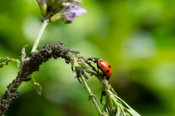 seven-spot ladybird with aphids seven-spot ladybird with aphids aphid stock pictures, royalty-free photos & images
