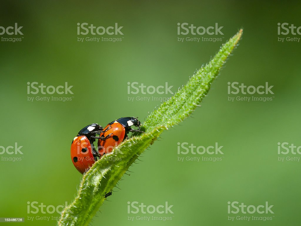 Seven-spot ladybirds stock photo