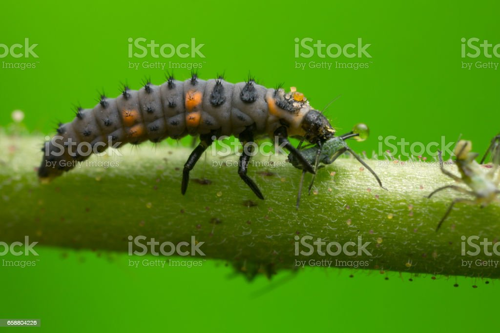 Seven-spot ladybug, Coccinella septempunctata larva feeding on aphid stock photo