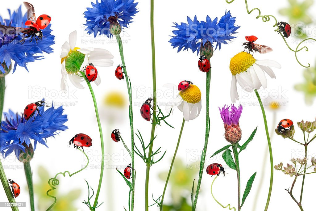 Seven-spot ladybugs on daisies, cornflowers and plants, white background. royalty-free stock photo