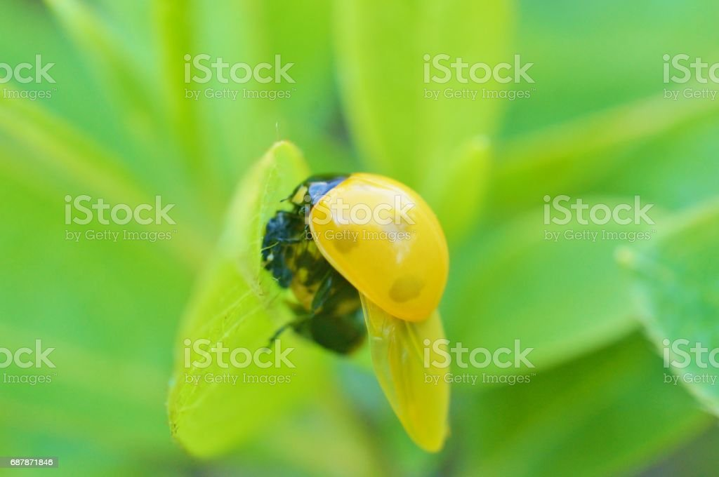 Sevenspotted lady beetle stock photo