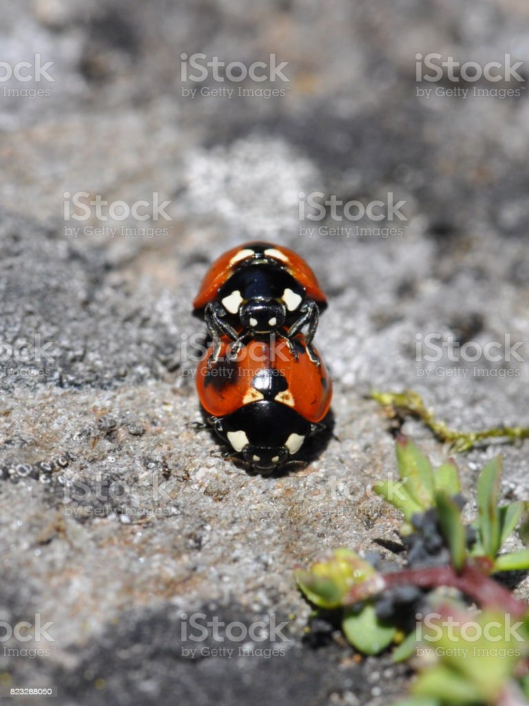 Sevenspotted Ladybirds stock photo