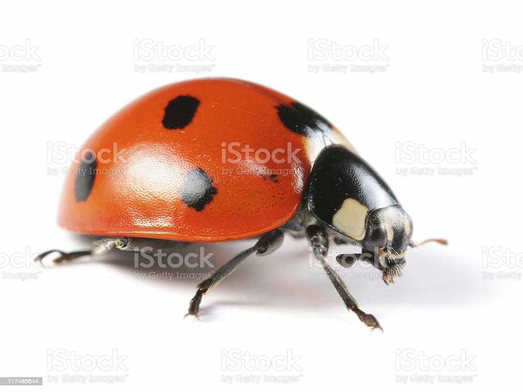 Seven-Spotted Ladybug royalty-free stock photo