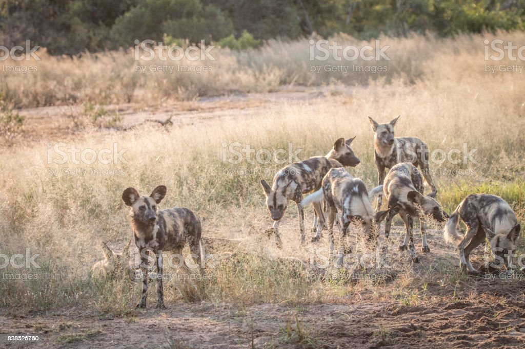 Several African wild dogs in the grass. stock photo