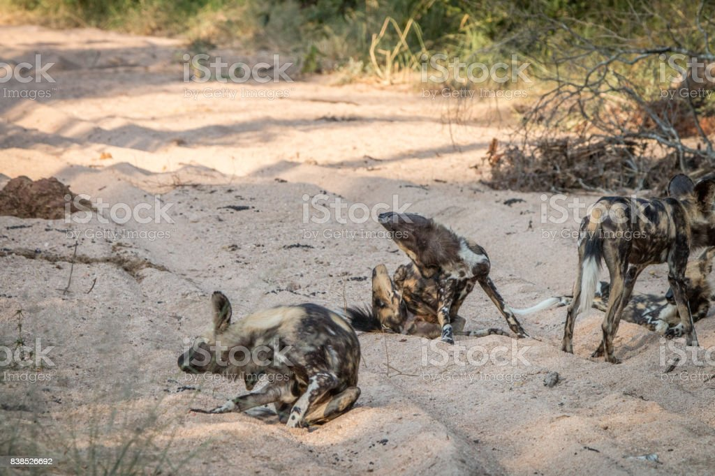 Several African wild dogs in the sand. stock photo
