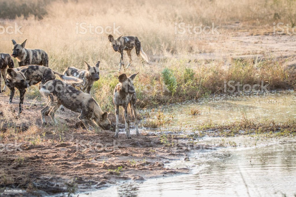 Several African wild dogs next to the water. stock photo