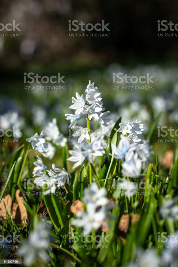 Several beautiful striped squills in the park close up in the sun stock photo