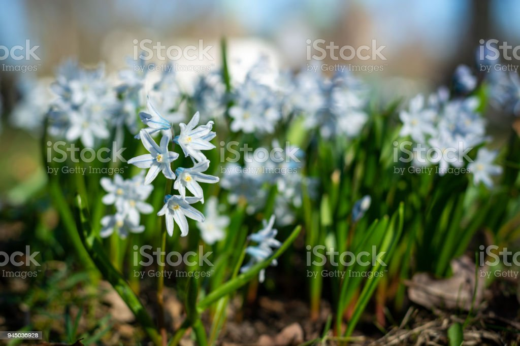 Several beautiful striped squills in the park close up stock photo