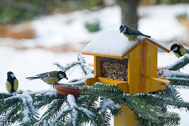 Several birds eating from a feeder on a snow-covered pine  stock photo