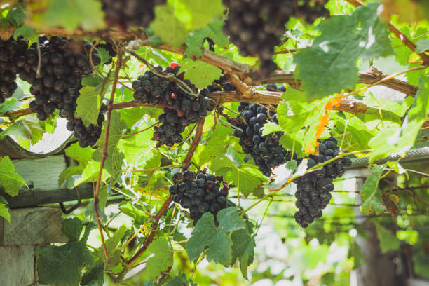 Several black grapes in an organic vineyard. Close up view and selective focus. stock photo