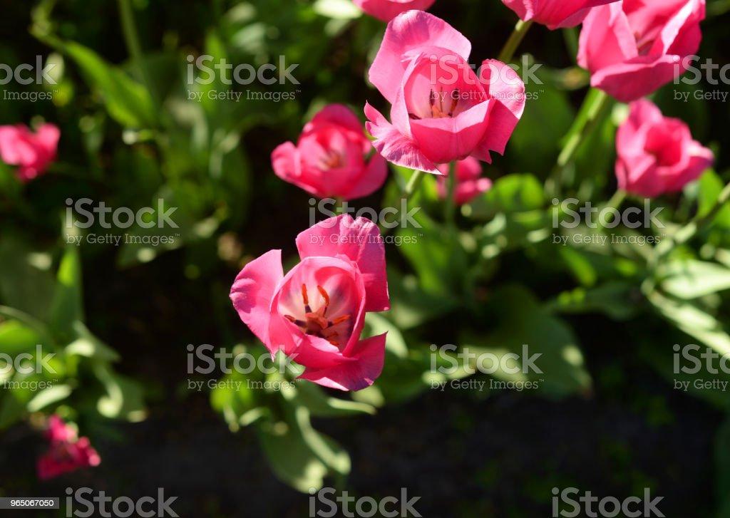 Several blossoming tulips. zbiór zdjęć royalty-free