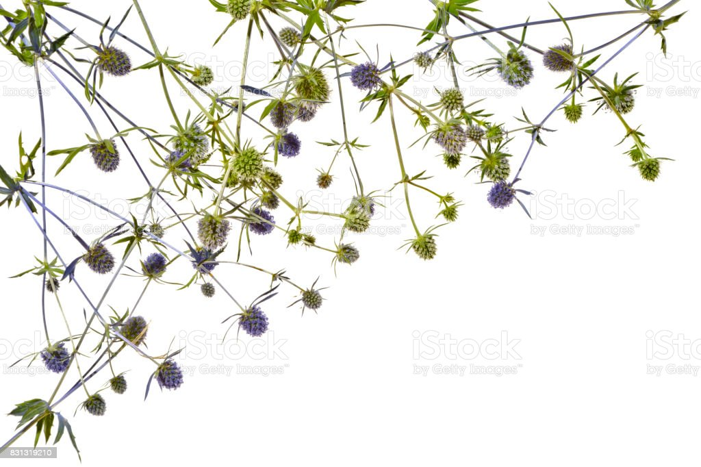Several blue thistles on a white background. stock photo